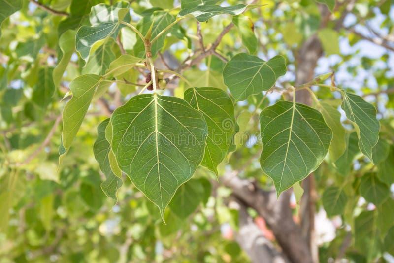 Abschluss oben der Blätter des heiligen Feigenbaums, nennen auch Peepal-Baum lizenzfreie stockfotos