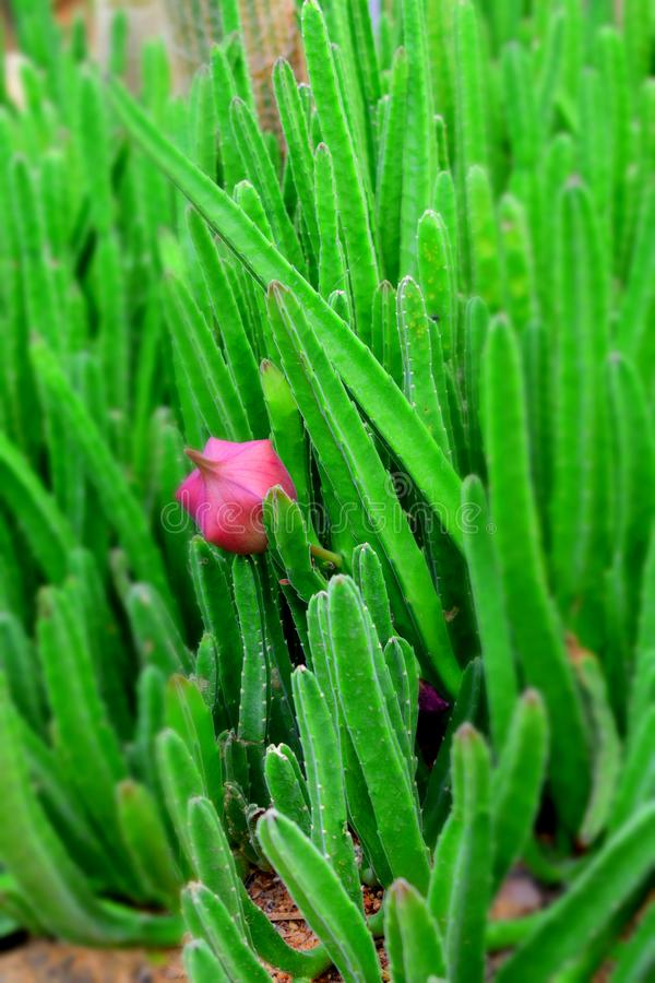 Abschluss oben der Kaktusblume stockbild