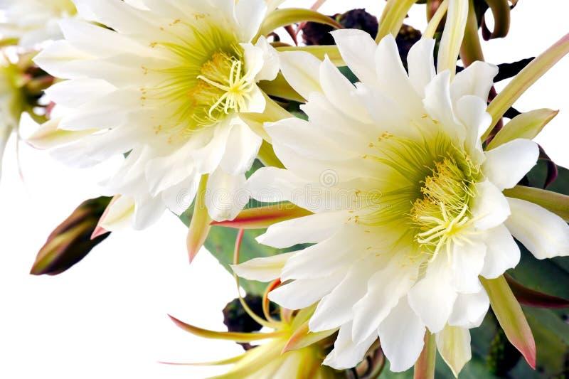 Abschluss oben der Kaktusblumen lizenzfreies stockbild