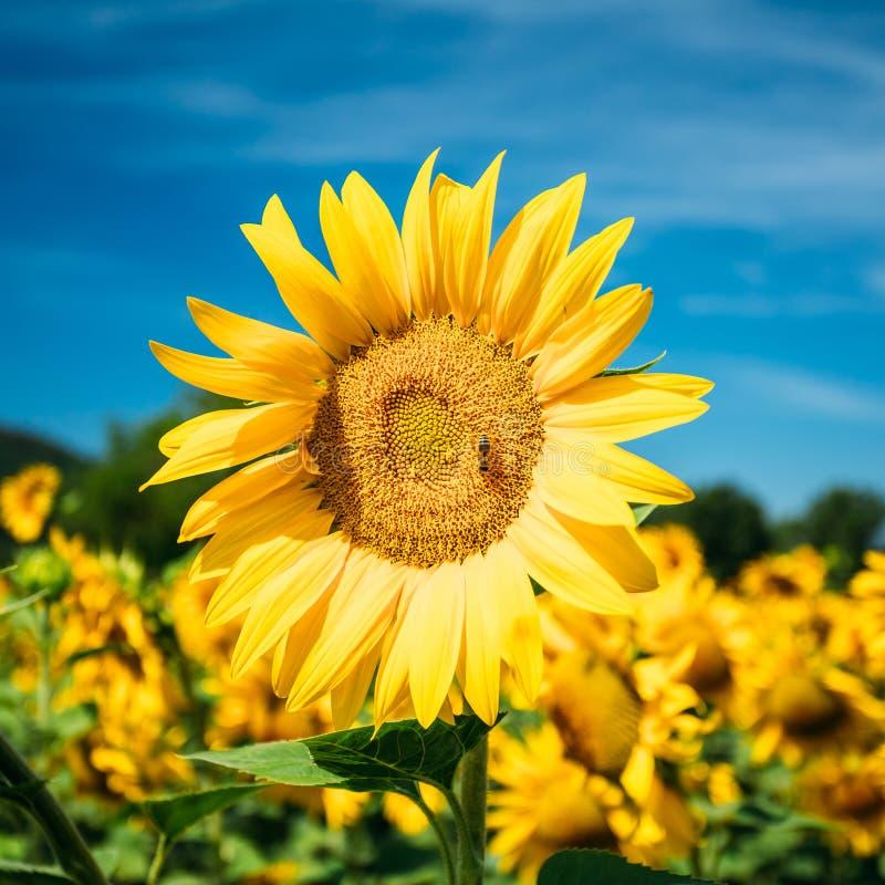 Abschluss oben des hellen gelben bloomng Sonnenblumenfeldes in sonnigem summ stockfoto