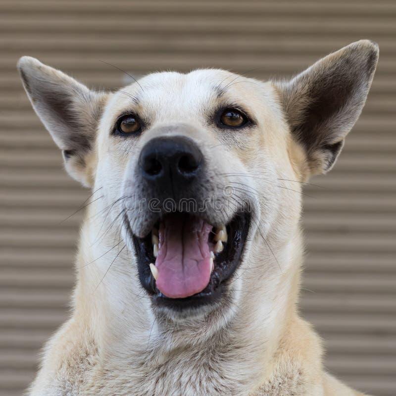 Abschluss oben eines weißen thailändischen Hundemunds offen lizenzfreie stockfotografie