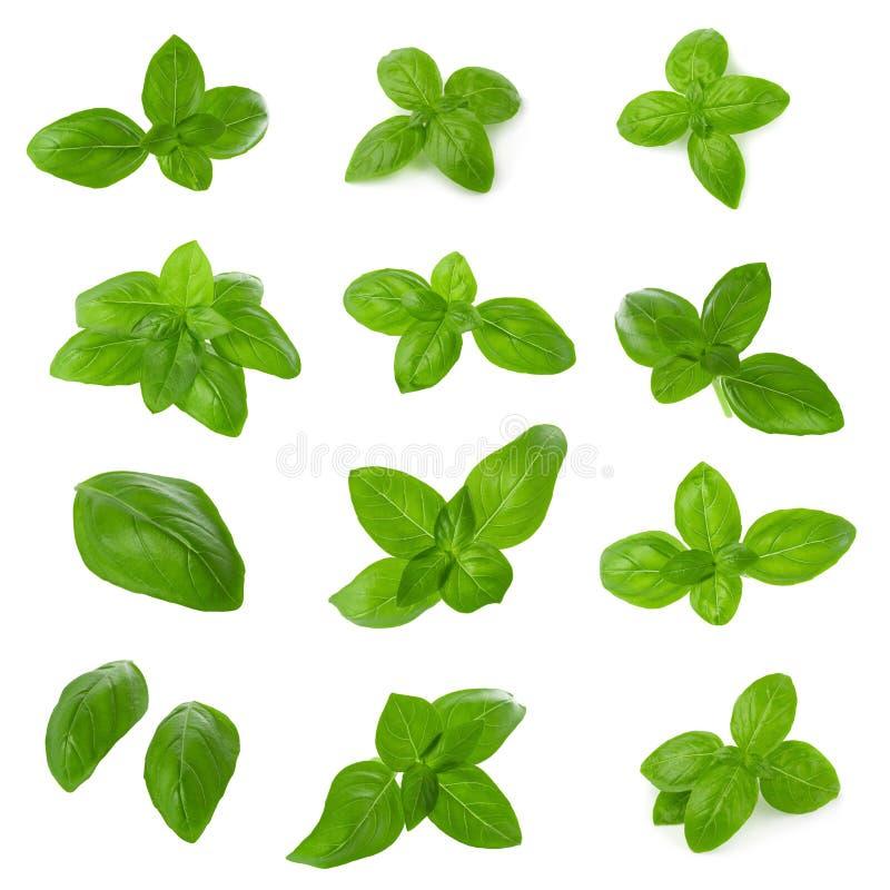 Abschluss oben von den frischen grünen Basilikumkrautblättern lokalisiert auf weißem Hintergrund Süßer Genovese Basilikum stockfotos