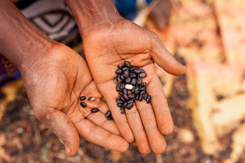 Abschluss oben von den offenen Händen der alten afrikanischen Frau, die schwarze Bohnen im Freien halten stockfoto