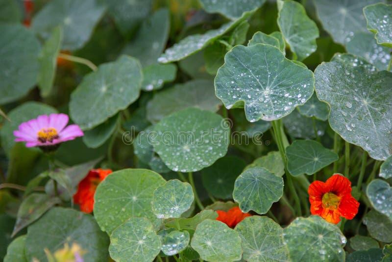 Abschluss oben von Wassertropfen auf grünem rundem Blatt mit einen anderen unscharfen Blättern, Blumen im Hintergrund stockfotografie