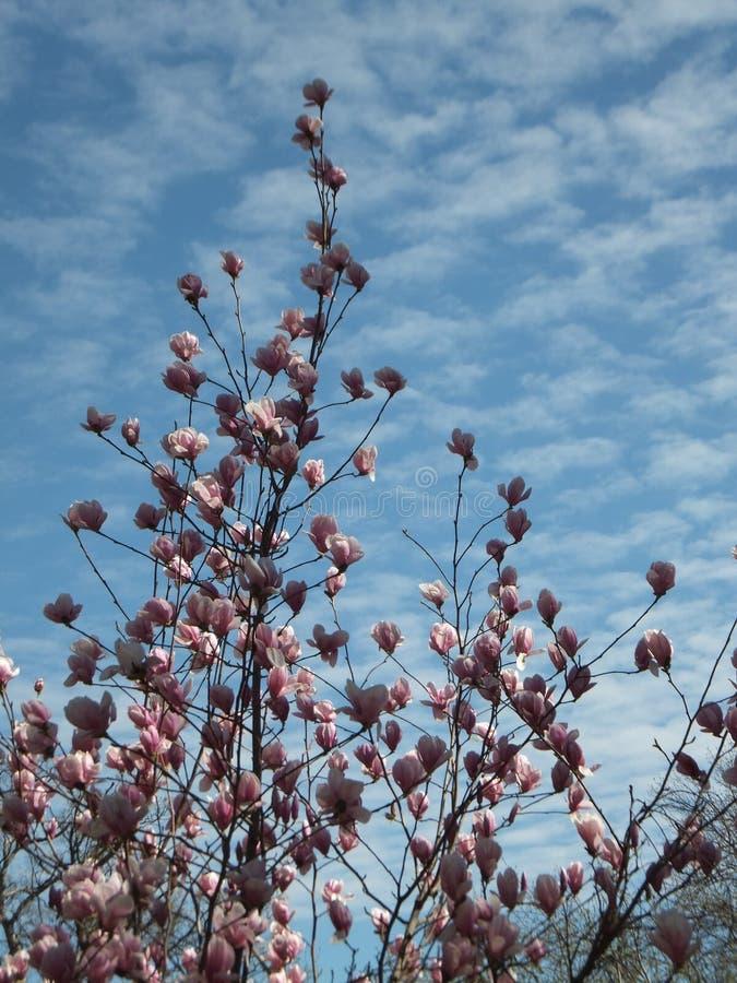 Abschnitt des blühenden Magnolienbaums beleuchtete teils durch die Sonne gegen blauen Himmel im Frühjahr lizenzfreies stockfoto