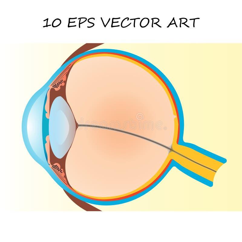 Abschnitt des menschlichen Auges lizenzfreie abbildung
