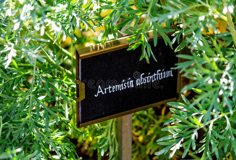 Absinthe d'armoise d'absinthe photos stock