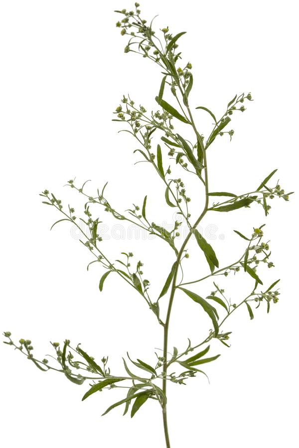 Absinthe de floraison de brindille, d'isolement sur un fond blanc photos stock