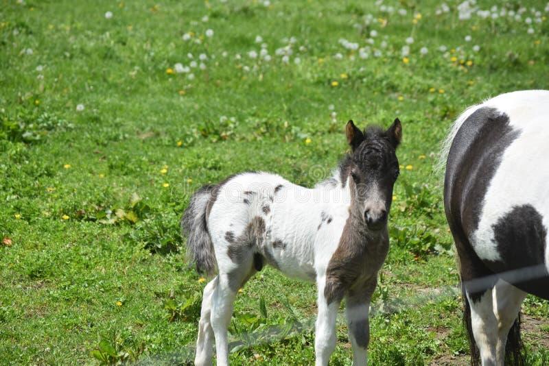 Absolut förtjusande svartvit nyfödd miniatyrhäst arkivbilder