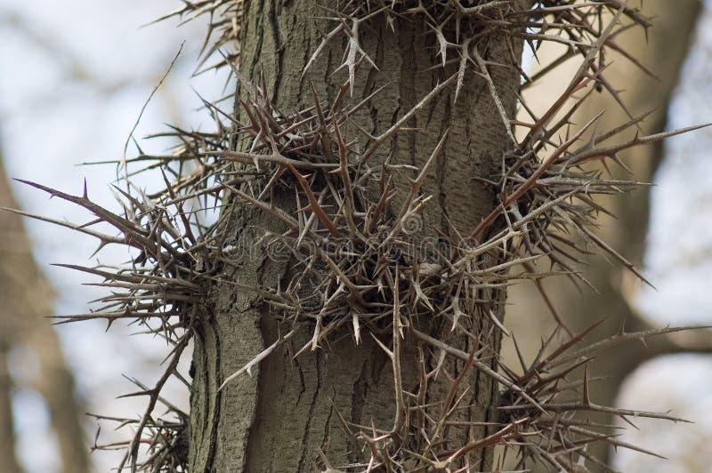 absolut nödvändigt för lyckad för tagg för acaciaexistensdel s viscous för taggar tree thus arkivbild