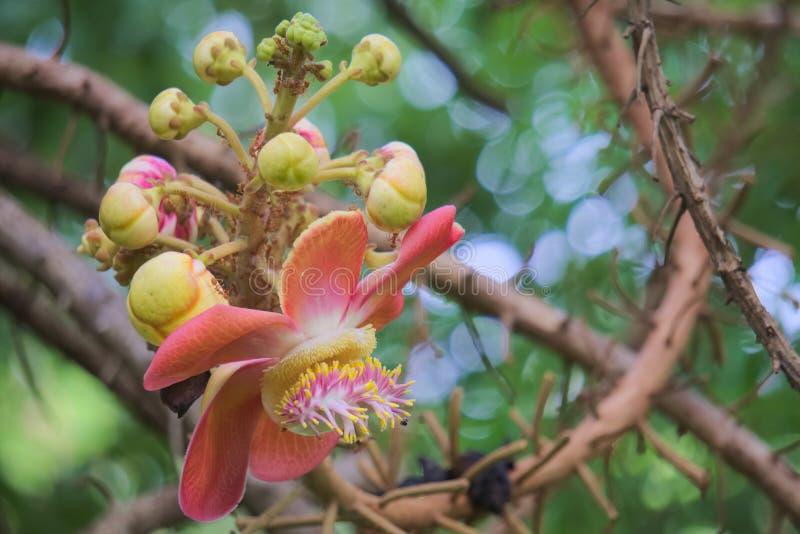 Absolut schön, Ameise bedeckt, des Pfirsiches, Blütentraube des Rosas, Gelber und weißer der Blütentraube, blühend in einem tropi lizenzfreies stockbild