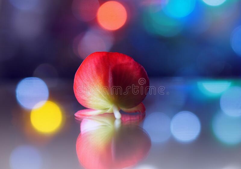 Absolute begonia multicolor bokeh mirror reflection stock image