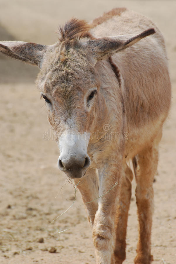 Absolutely Adorable Face of a Shaggy Wild Donkey stock image