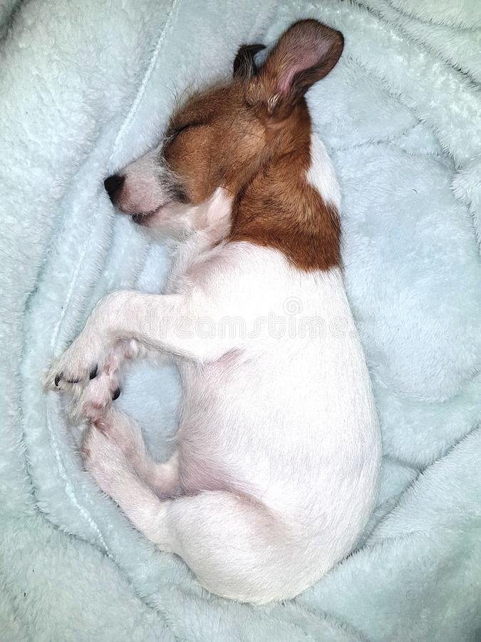 Absolutely Gorgeous Sleeping Female Jack Russell Puupy royalty free stock photo