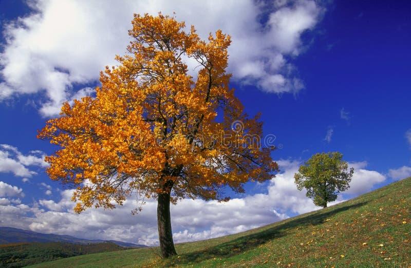 Absorba y árbol de roble imagenes de archivo