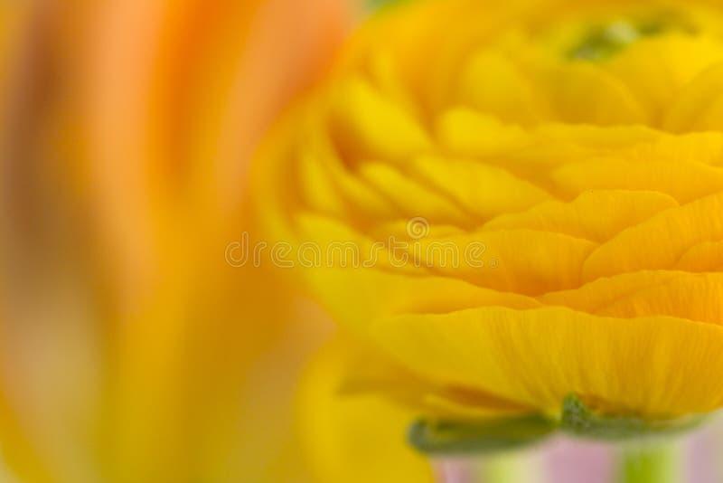 Abstracção do Close-up de uma flor amarela fotografia de stock