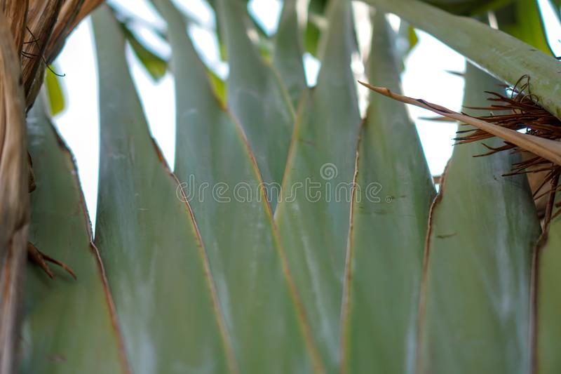 Abstrac Banana leaves pattern background.  royalty free stock images