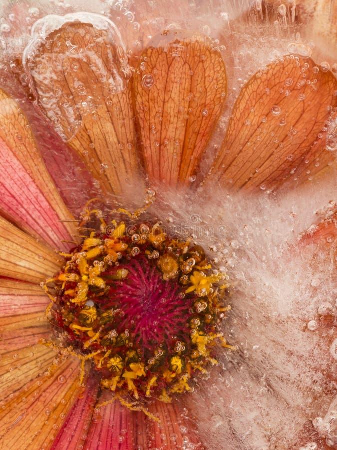 Abstracción del hielo con la flor congelada imagenes de archivo