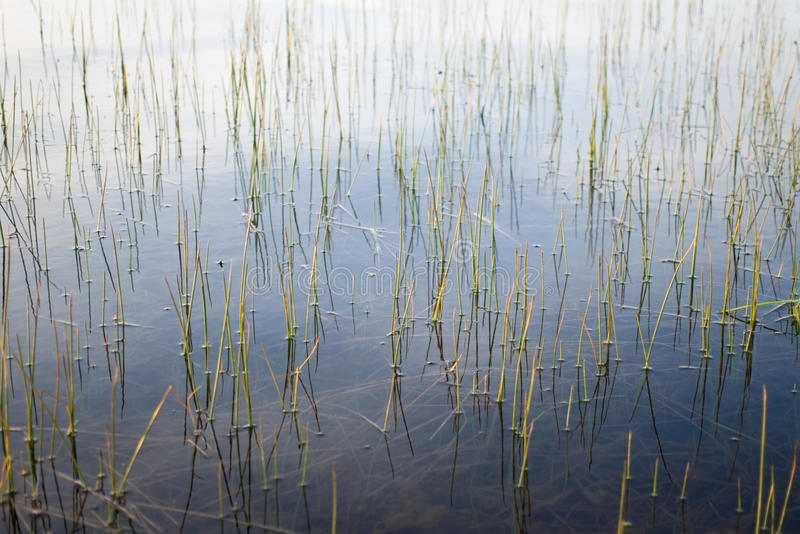 Abstract. Of emergent macrophytes at the edge of a wetland stock photography