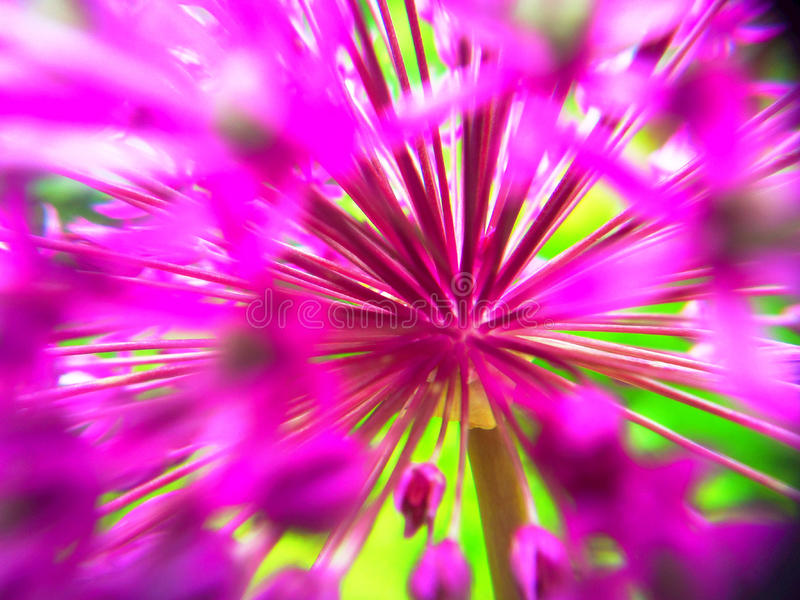 Abstract Allium royalty-vrije stock foto's