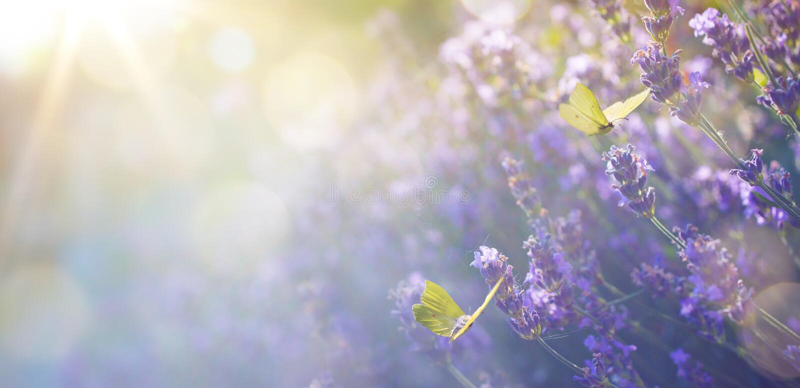 Abstract  Summer floral landscape; beautiful summer lavender flower and fly butterfly against evening sunny sky; nature stock photo