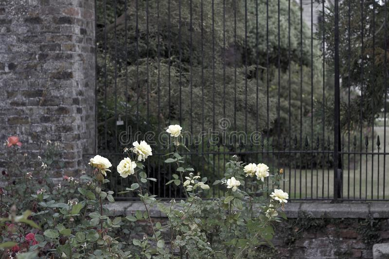 Abstract art texture background of beautiful white roses against a deep green garden brick wall and iron fence royalty free stock photos