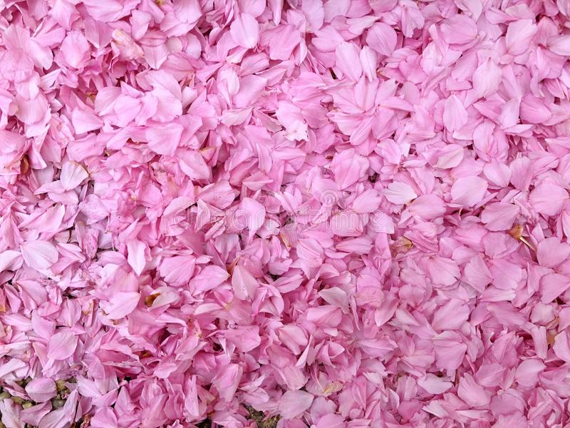 Pink Flowers Background. Pink Petals and Flowers Pretty Background Text Ready stock image
