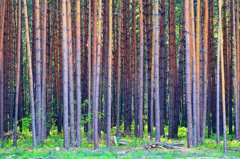 Dense forest. Abstract background formed by dense forest royalty free stock images