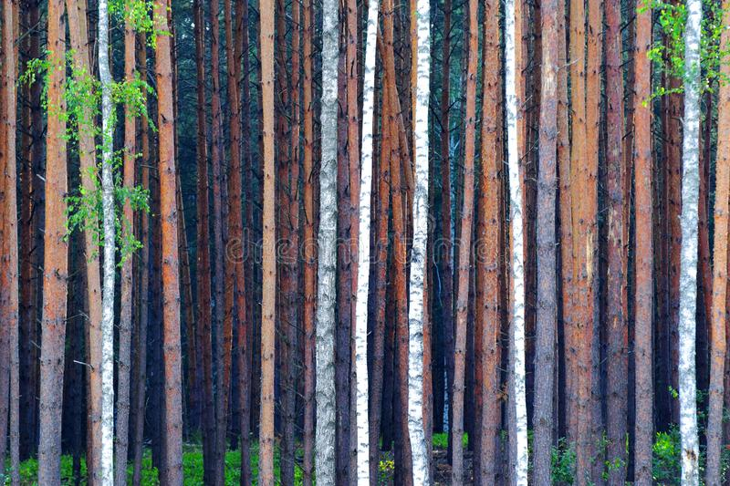Dense forest. Abstract background formed by dense forest royalty free stock photos