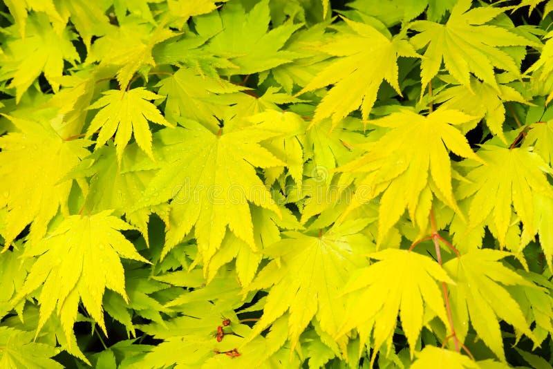 Fresh green Japanese Maple Acer Palmatum leaves royalty free stock image