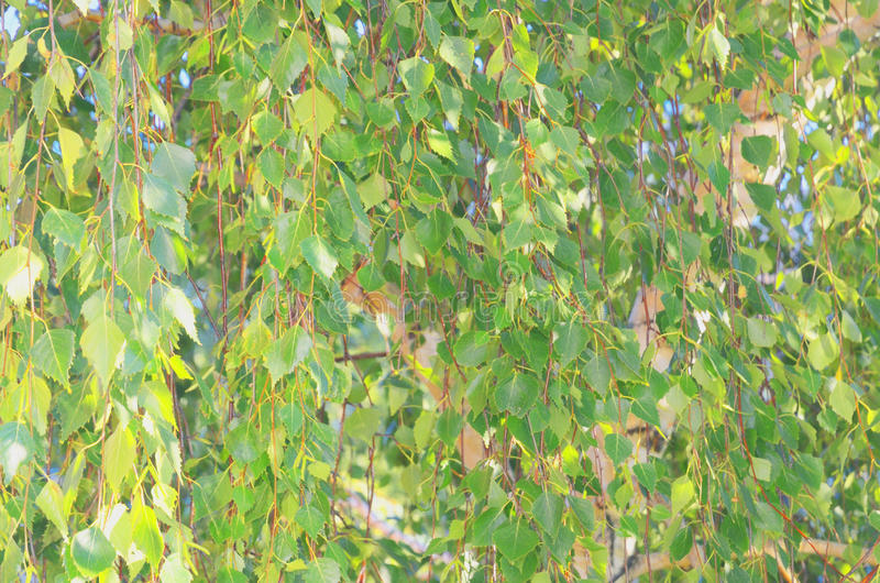 Abstract background of green foliage on birch branches stock image