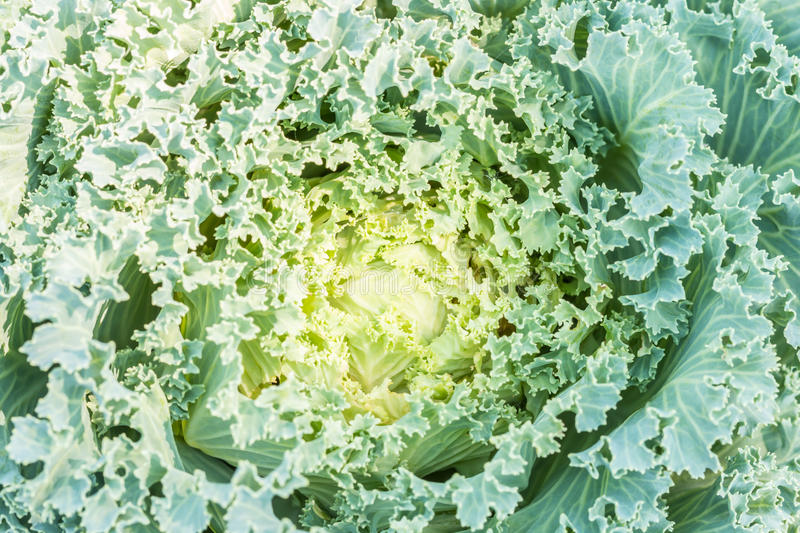 Abstract background of green ornamental cabbage Brassicaceae. Abstract background of green ornamental cabbage Brassicaceae, planted in the garden, in Thailand royalty free stock photo