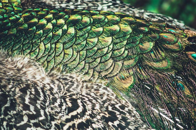 Close up view of Peacock Feathers stock photography