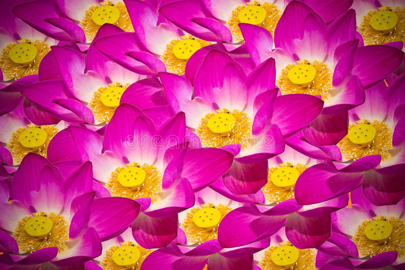 Abstract background of lotus flowers stock images