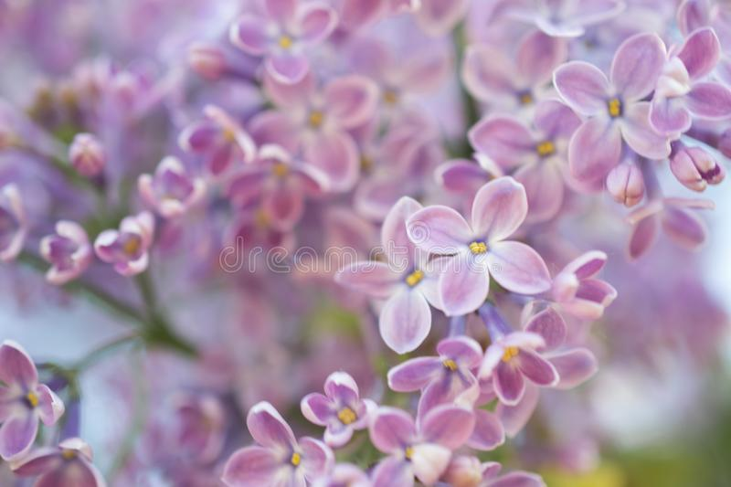 Abstract background. Macro photo. Blooming lilac flowers. Floral natural background. Spring time season stock images