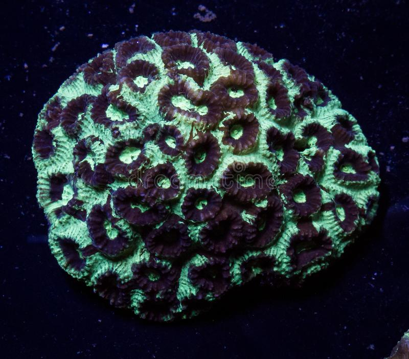 Favia brain coral. Abstract background and texture of close up on green and brown favia brain coral stock photos