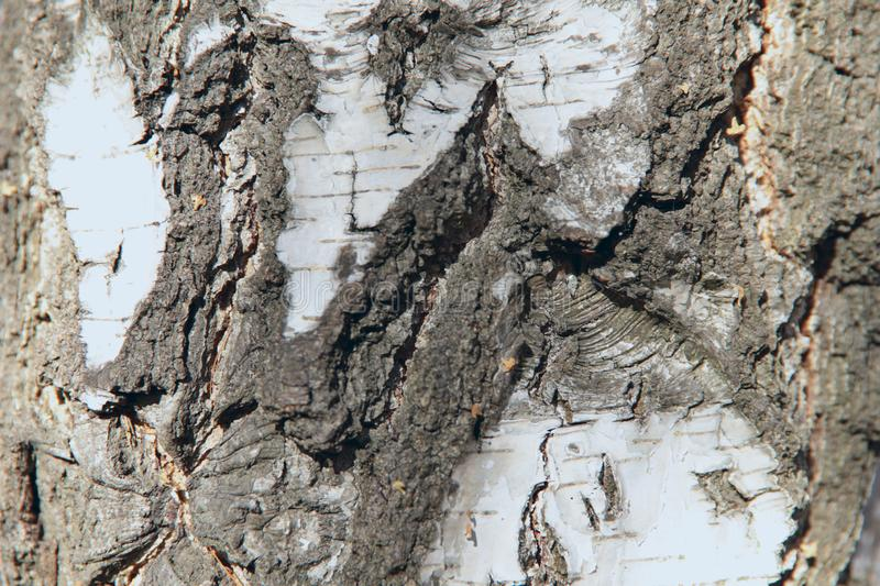 Abstract background texture of white bark of a birch tree. royalty free stock photography