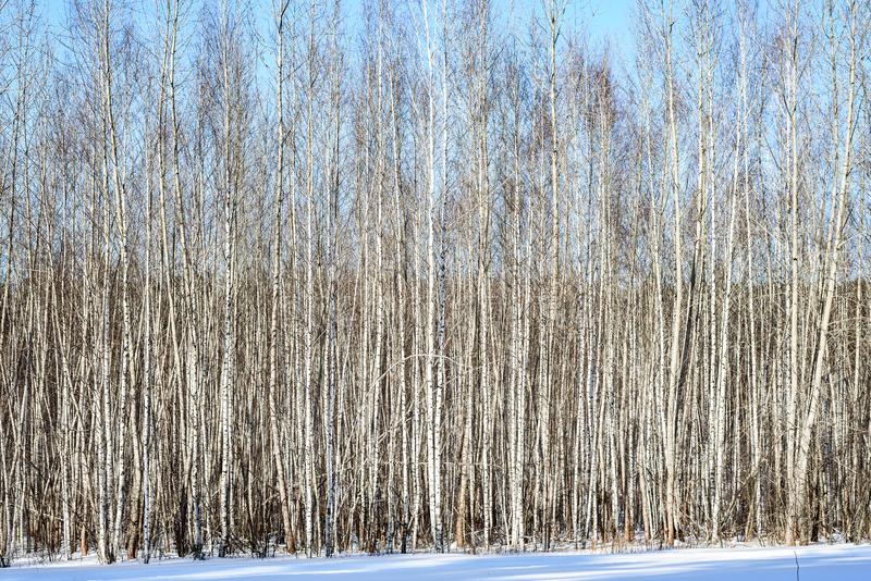 Abstract background of white young birches without leaves on winter day stock photos