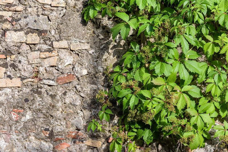 Abstract background wiht stone wall and grape twigs. stock image