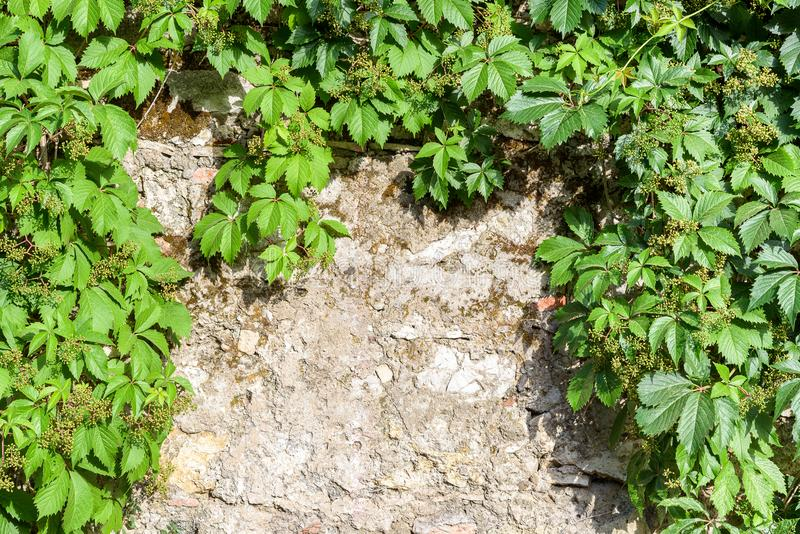 Abstract background wiht stone wall and ivy twigs. stock photo