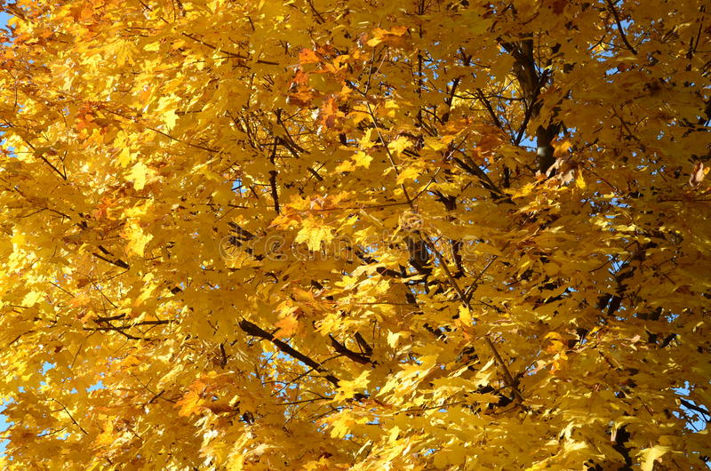 Abstract background of yellow leaves of a maple tree. Leaves are bright yellow and reddish colors on the branches . The tree crown maple closeup. Sunny autumn royalty free stock photo