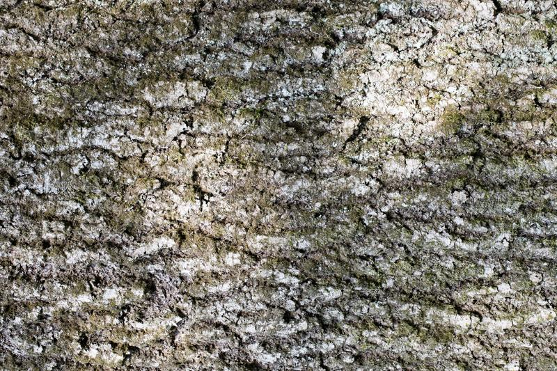 Abstract backgrounds: bark of an old ash-tree with moss and lichen royalty free stock photo