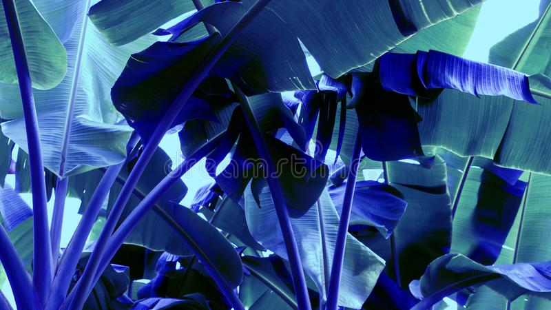 Abstract banana leaves background Tropical tree neon color. For design work royalty free stock photography