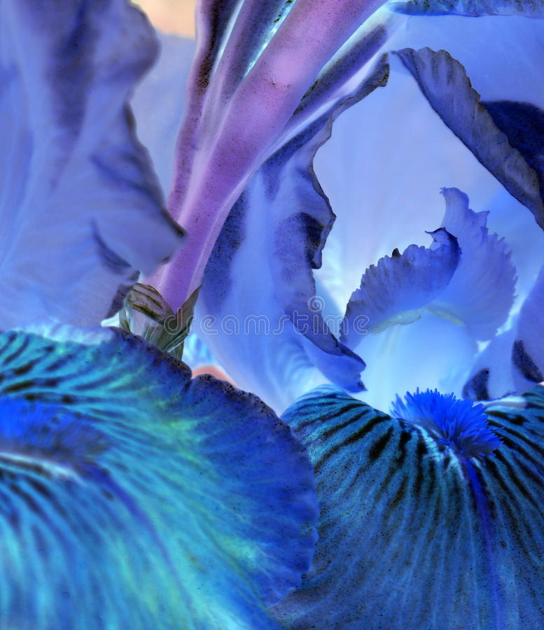 Abstract of Bearded Iris Blossom stock photo