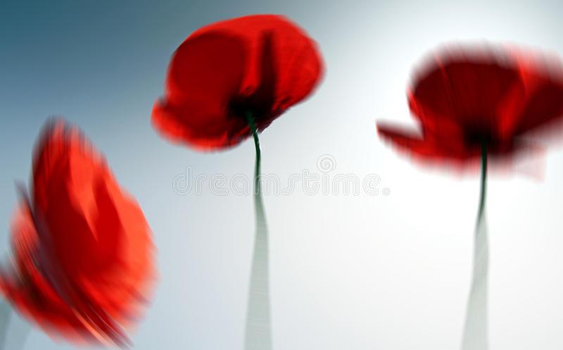 Abstract beautiful red poppy flower in summer stock image