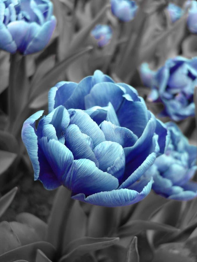Abstract beeld van blauwe tulp royalty-vrije stock fotografie