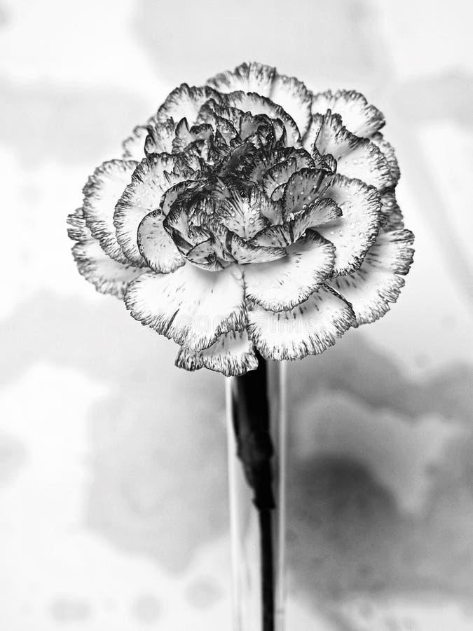 Abstract Black & White Carnation stock photos
