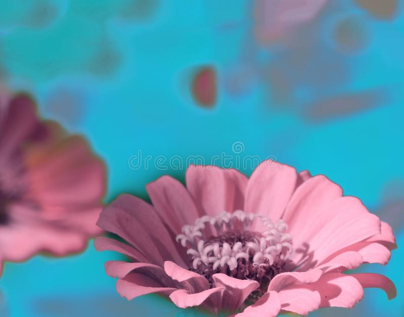 Abstract Heirloom Flowers. Abstract blue pink Heirloom Flowers backround royalty free stock images