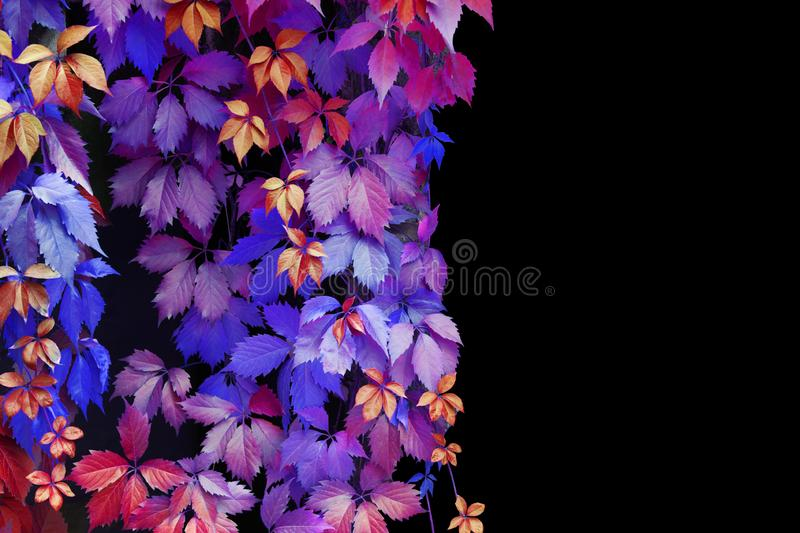 Abstract blue, purple, pink, red, yellow girlish grape leaves decorative pattern on black background isolated close up copy space stock images
