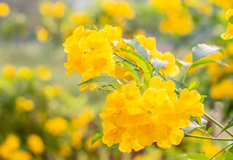 Abstract blur background of yellow flowers, Tecoma stans. Yellow bell, Trumpet vine, with bright sunlight and green bokeh, in soft blurred style, defocus stock photos